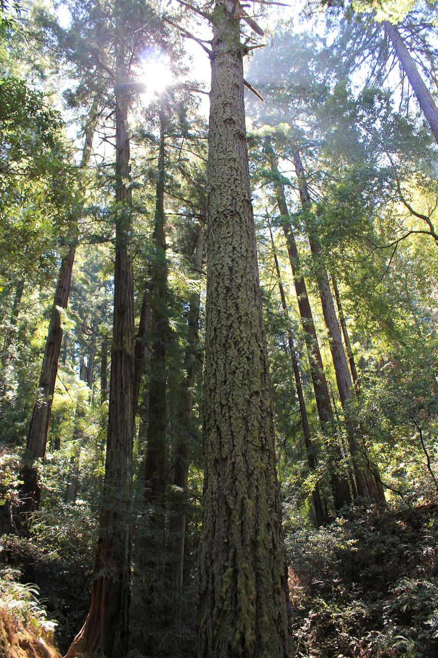 muir-woods-sun