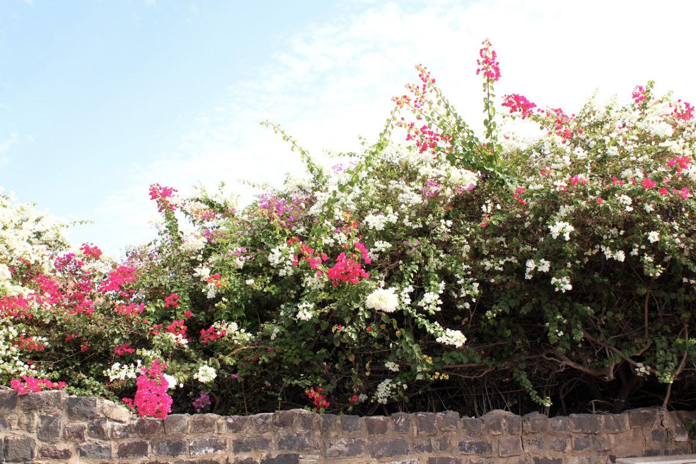 Flowers in Tiberias