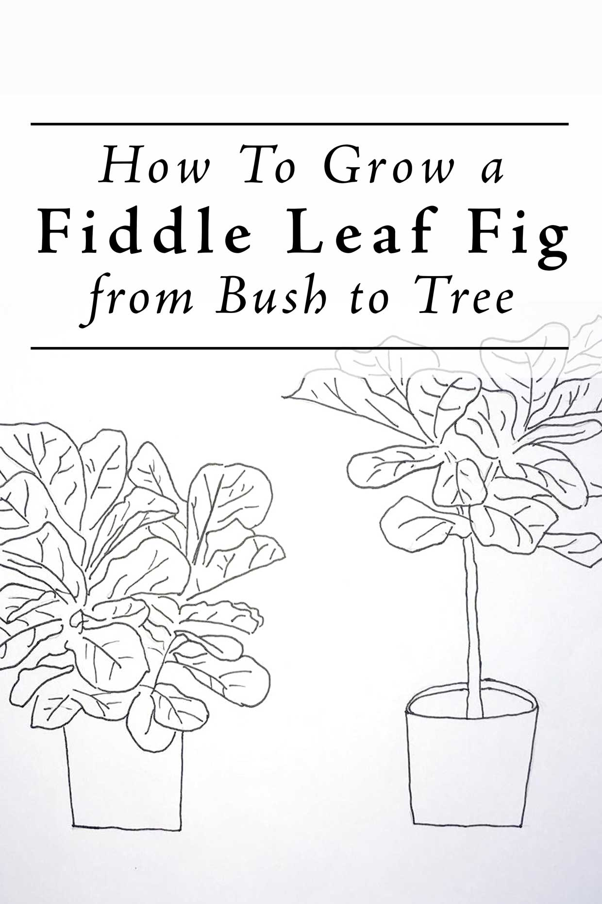 Grow a Ficus Lyrata from bush to Tree Form