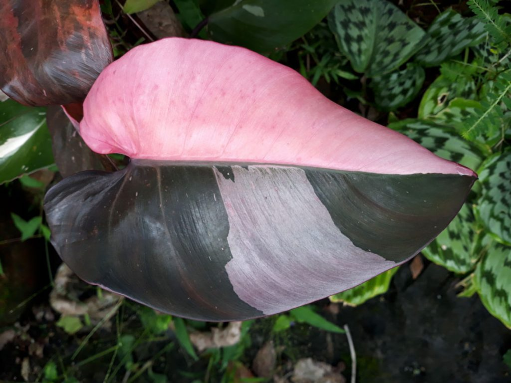 Pink Princess Philodendron Best Indoor Plants