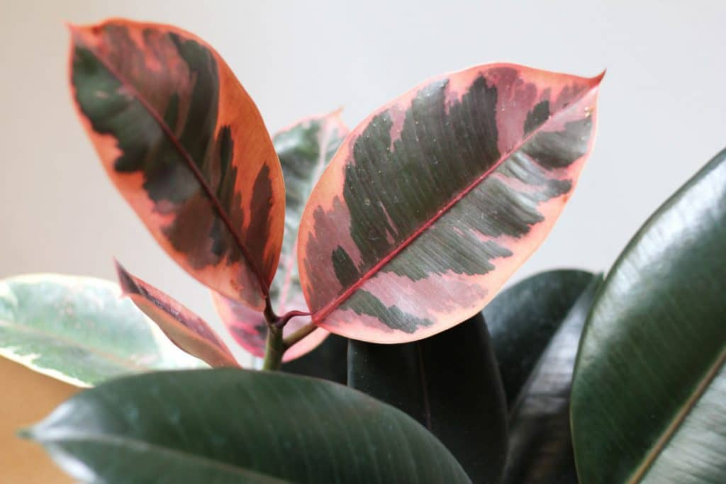 Trending: Indoor Plants with Pink Foliage