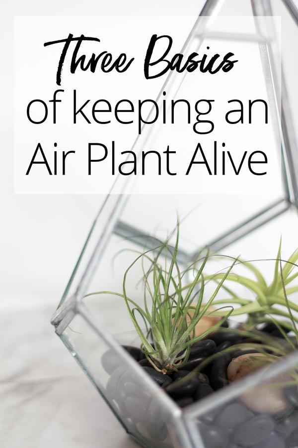 The Three Basics of Keeping an Air Plant Alive. Balance these three elements, and your Tillandsia will thrive! | Dossier Blog