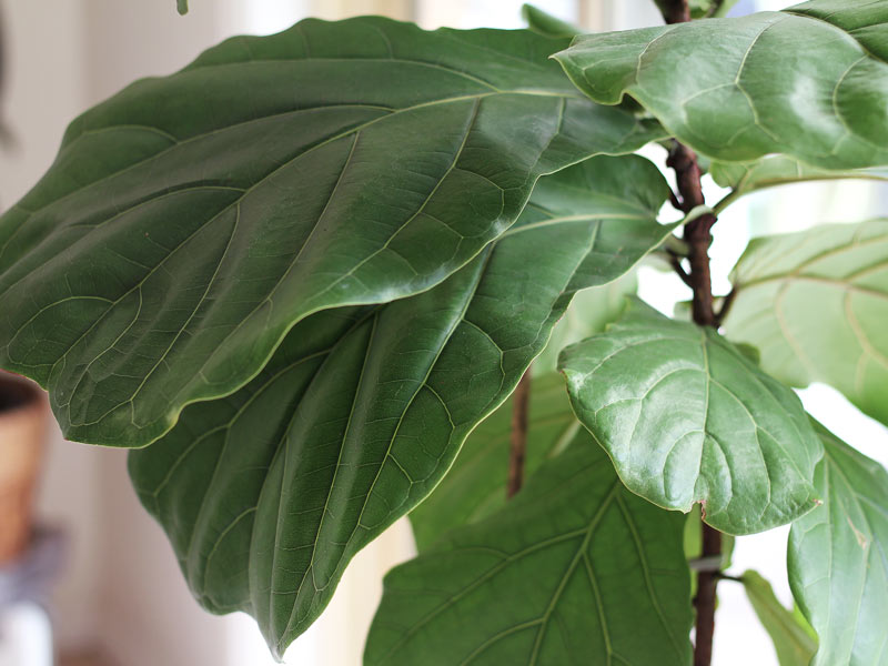 Double its growth - how to fertilize your fiddle leaf fig - a complete guide!