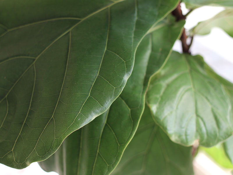 What to look for to bring home a healthy Fiddle Leaf Fig | Dossier Blog