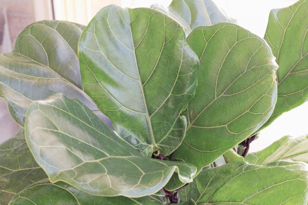 Six Myths about caring for Fiddle Leaf Figs that are commonly believed | Dossier Blog