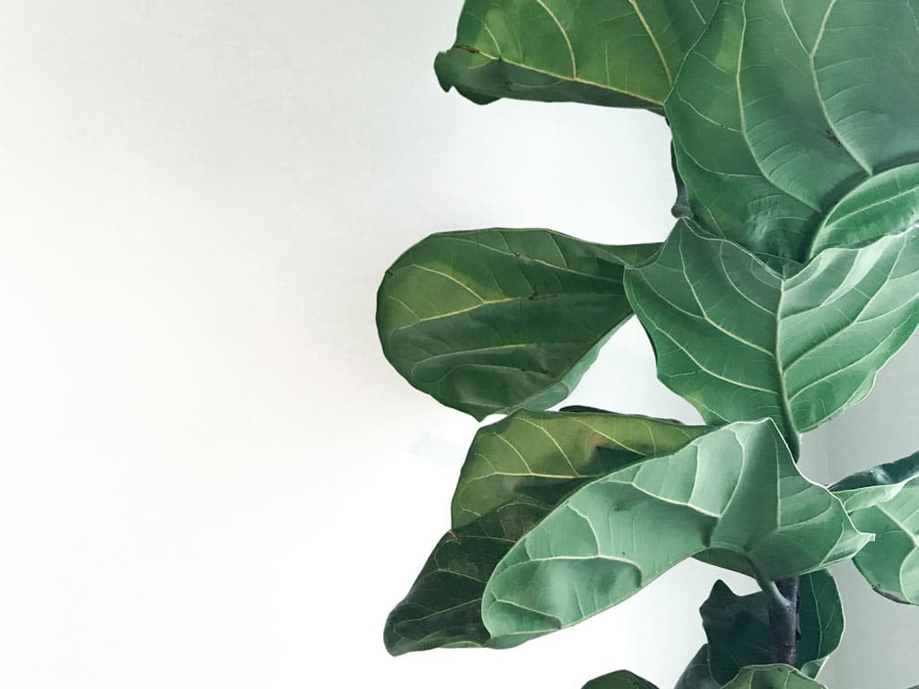 How to Get your Fiddle Leaf Fig growing straight | Dossier Blog