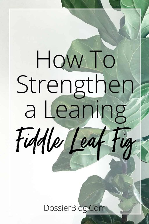 How to strengthen a weak or leaning Fiddle Leaf Fig - do these steps to have your FLF growing straighter and stronger in as little as one week! | Dossier Blog