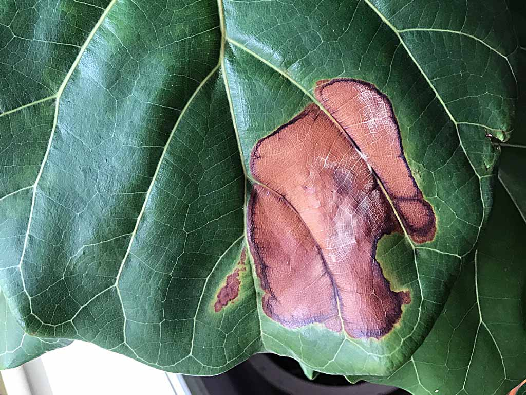 Sunburn or leaf scorch on a Fiddle Leaf Fig - white to yellow-brown crispy leaves | Dossier Blog