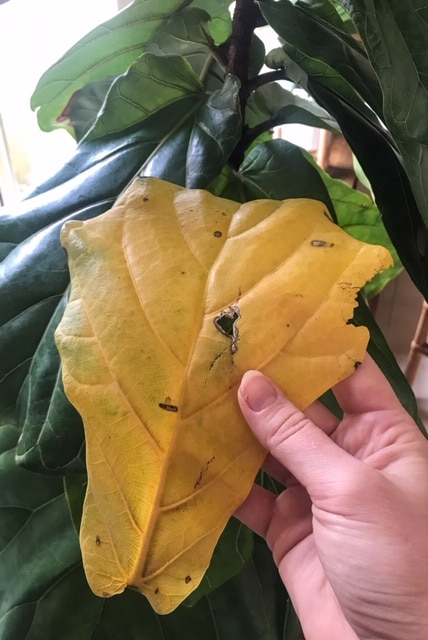 Yellow leaves on a Fiddle Leaf Fig | Dossier Blog
