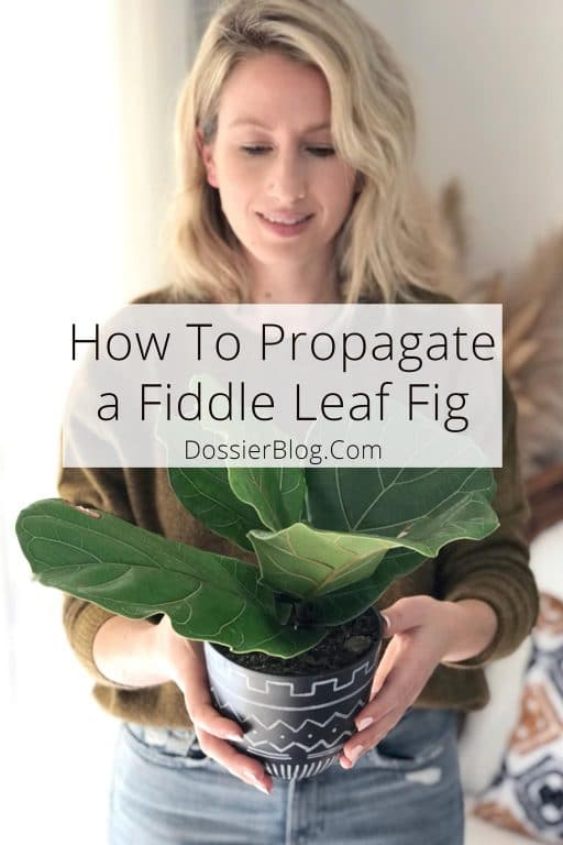 How to Propagate a Fiddle Leaf Fig - Three Ways! | Dossier Blog