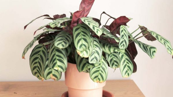 indoor calathea loves humidity | Dossier Blog