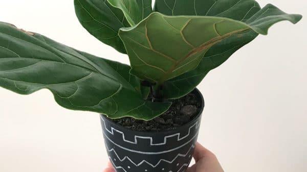 Fiddle Leaf Fig plant from cutting | Dossier Blog