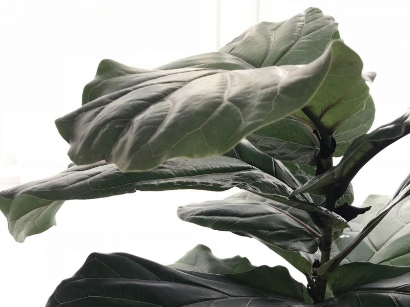 How to help a Fiddle Leaf Fig branch   Dossier Blog