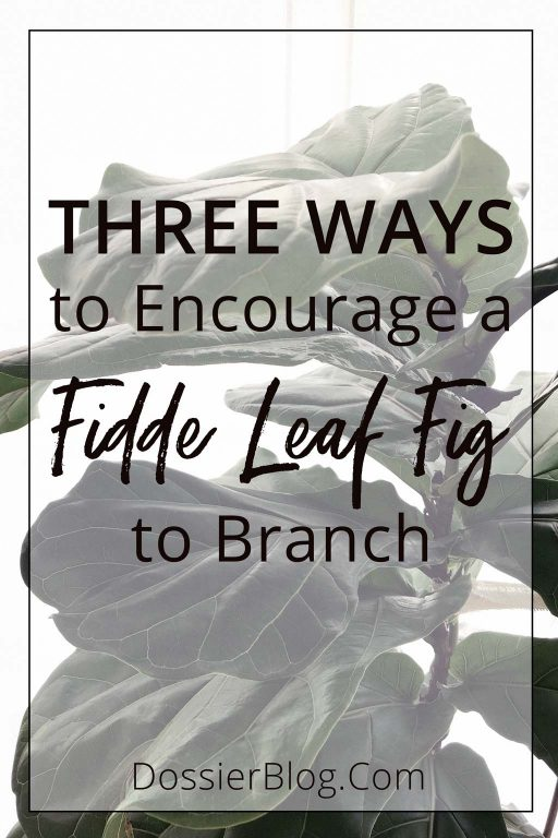 Three ways to encourage a Fiddle Leaf Fig to branch | Dossier Blog