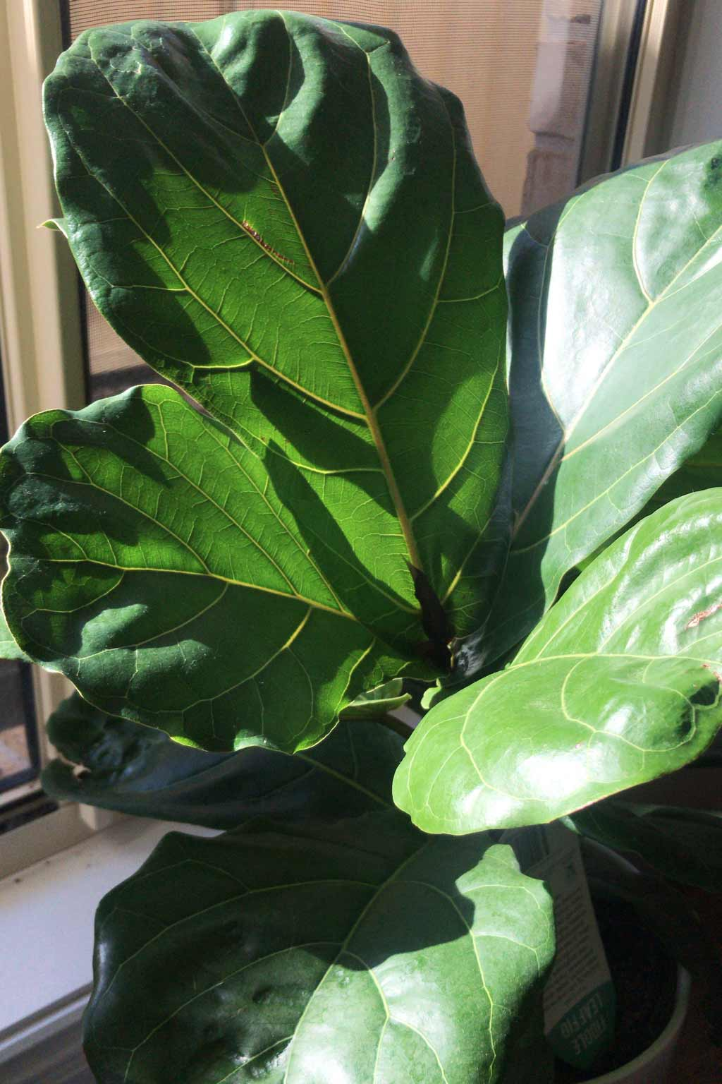Keep plants like Fiddle Leaf Figs next to a window | Dossier Blog
