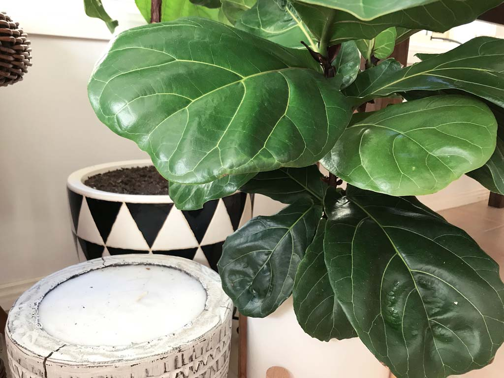Caring for your Fiddle Leaf Fig in Winter