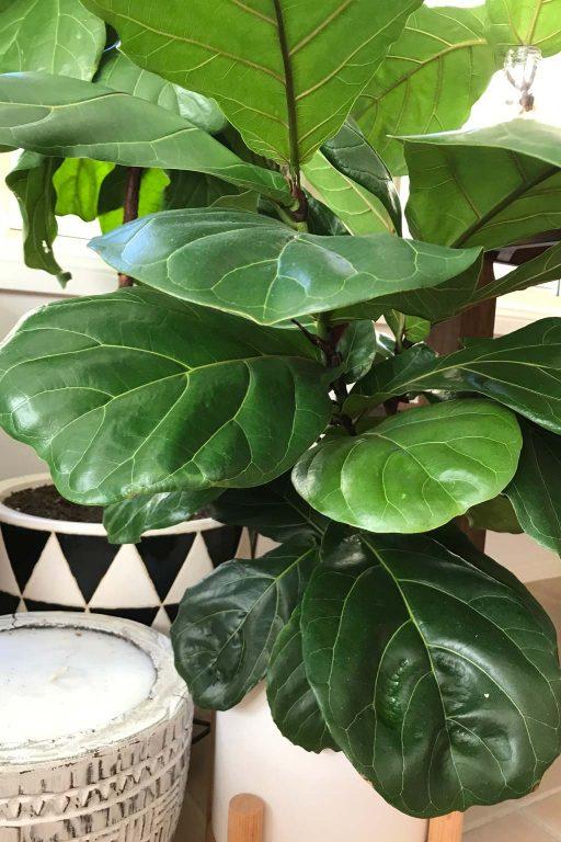 Fiddle Leaf Fig - buying house plants | Dossier Blog