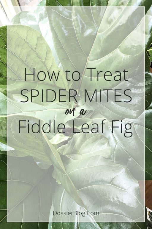 How to Treat Spider Mites on a Fiddle Leaf Fig | Dossier Blog