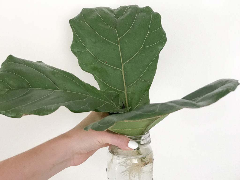 Fiddle Leaf Fig post-propagation | Dossier Blog