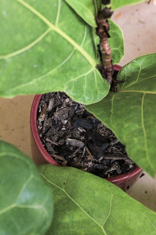 Fiddle Leaf Fig well draining soil mix | Dossier Blog