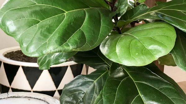 Fiddle leaf fig product recommendations | Dossier Blog
