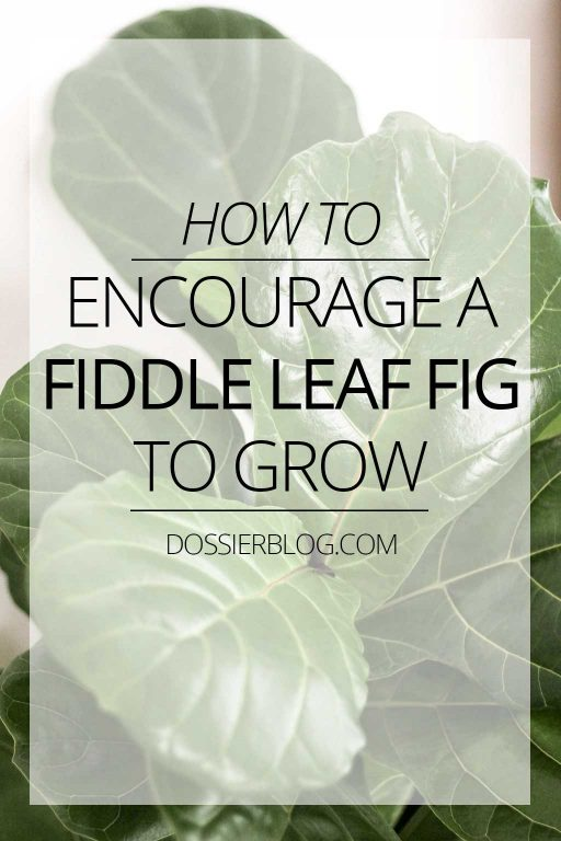 How to Encourage a Fiddle Leaf Fig to Grow | Dossier Blog