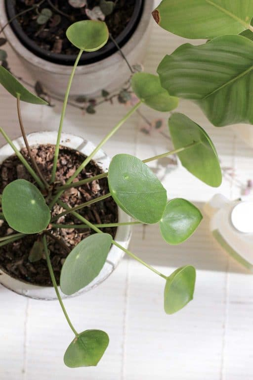 Pilea peperomioides indoor plant | Dossier Blog