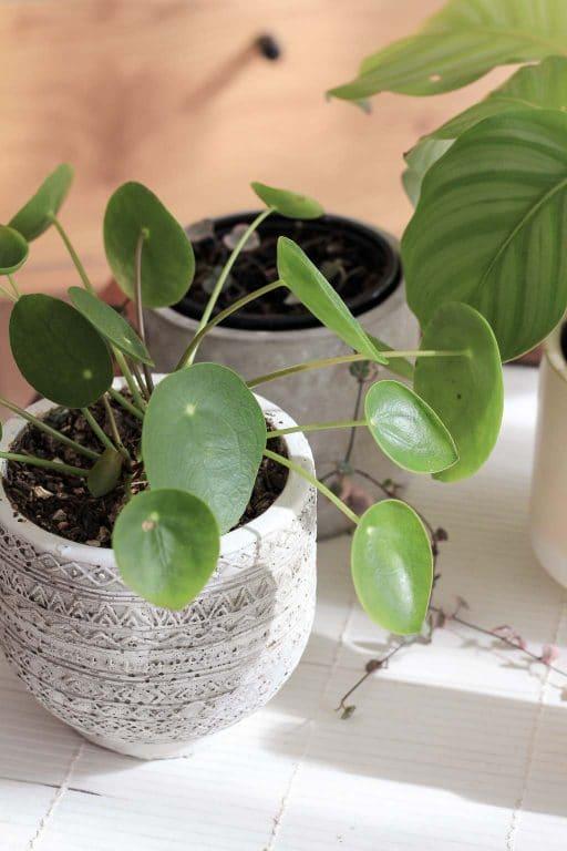 Pilea plant - using neem oil | Dossier Blog