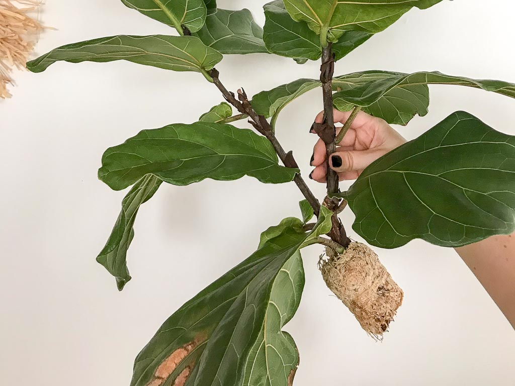 How to Air Layer a Fiddle Leaf Fig | Dossier Blog
